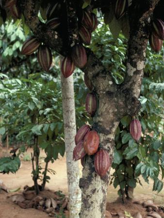 Cocoa Pods on Tree, Sri Lanka