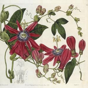 Passionflower, from 'The Botanical Register' by Sydenham Teast and John Edwards and Lyndley