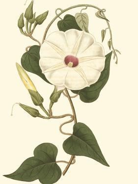 Blossoming Vine I by Sydenham Teast Edwards