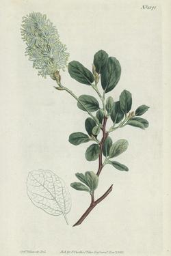 Botanical Engraving by Sydenham Teast Edwards