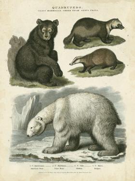 Brown Bear & Polar Bear by Sydenham Teast Edwards
