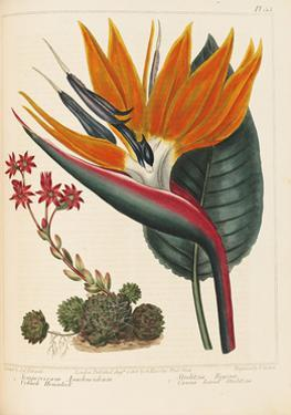 Cobweb Houseleek and Canna Leaved Strelitzia, 1806 by Sydenham Teast Edwards