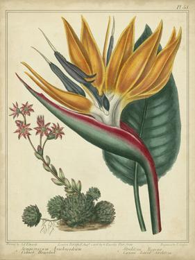 Golden Bird of Paradise by Sydenham Teast Edwards