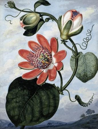The Winged Passion Flower by Sydenham Teast Edwards