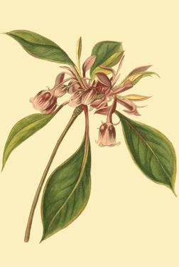 Tropical Ambrosia III by Sydenham Teast Edwards