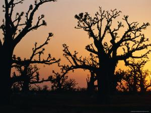 Bandia Forest, Senegal, Africa by Sylvain Grandadam