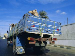 Camels Being Driven to Market in Back of Truck, Cairo, Egypt by Sylvain Grandadam