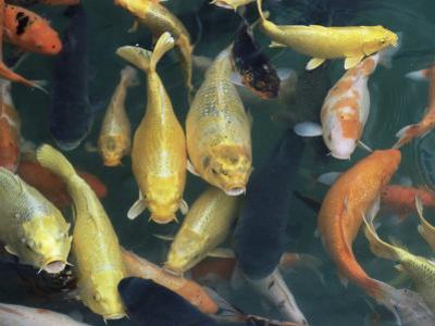 Koi Carp Fish in Pool, Taipei, Taiwan, Asia