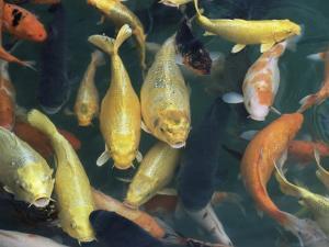 Koi Carp Fish in Pool, Taipei, Taiwan, Asia by Sylvain Grandadam