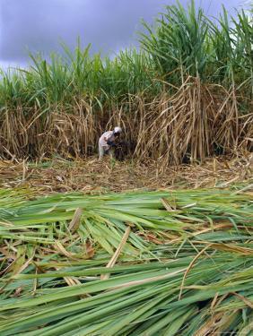 Sugar Cane Cutting by Hand, Reunion Island, Indian Ocean by Sylvain Grandadam