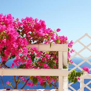 Santorini Blooms by Sylvia Coomes