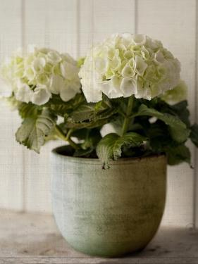 Potted Hydrangea by Symposium Design