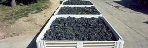 Syrah Grape in Field Bins Ready for Crush, Portteus Vineyard, Rattlesnake Hills Ava, Yakima Coun...