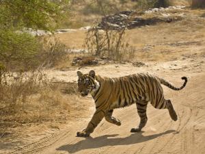 Bengal Tiger Hunting, Ranthambhore Np, Rajasthan, India by T.j. Rich
