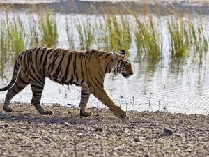 Bengal Tiger Walking by Lake, Ranthambhore Np, Rajasthan, India by T.j. Rich