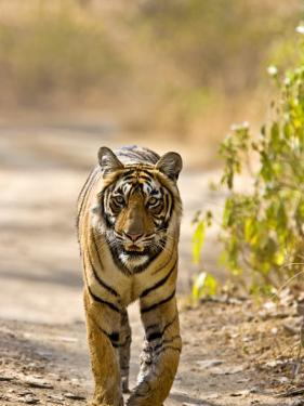 Bengal Tiger Walking on Track, Ranthambhore Np, Rajasthan, India by T.j. Rich