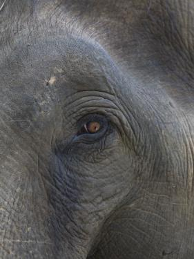 Indian Elephant Close Up of Eye, Controlled Conditions, Bandhavgarh Np, Madhya Pradesh, India by T.j. Rich