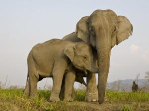 Indian Elephant Mother with 5-Day Baby and its Older Sibling, Controlled Conditions, Assam, India by T.j. Rich
