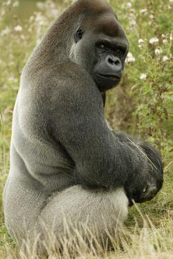 Male Silverback Western Lowland Gorilla Sitting Portrait (Gorilla Gorilla Gorilla) Uk by T^j^ Rich