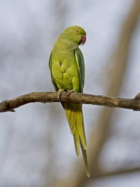 Rose Ringed Ring-Necked Parakeet Perched, Ranthambhore Np, Rajasthan, India by T.j. Rich