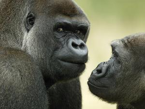 Two Western Lowland Gorillas Face to Face, UK by T.j. Rich