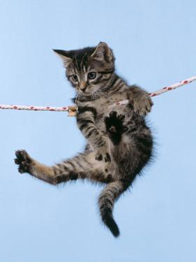 Tabby Kitten Hanging from Washing Line