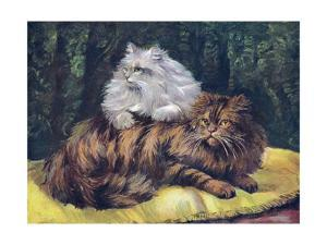 Tabby, Silver Persians