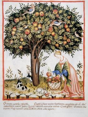 Tacuinum Sanitatis. Late Xiv Century. Picking Bitter Pomegranate