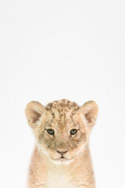 Baby Lion by Tai Prints