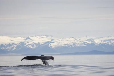 Tail Fluke of Diving Humpback Whale in Frederick Sound