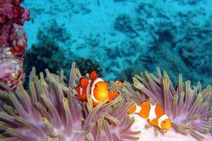 Clown Fishes by takau99