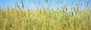 Tall Grass in Field, California, USA