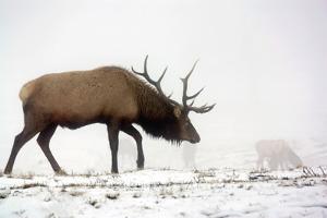 Elk IV by Tammy Putman