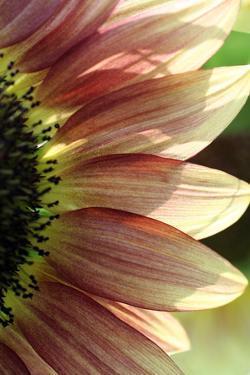 Sunflower IV by Tammy Putman