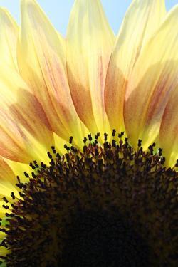 Sunflower V by Tammy Putman