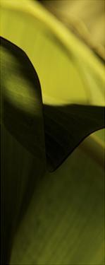 Leaf Detail II by Tang Ling