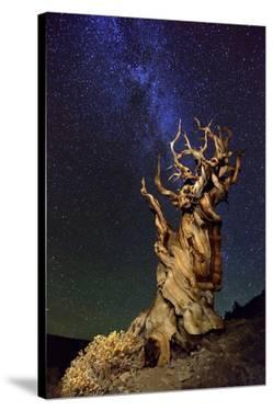 Bristlecone Pine by Tanja Ghirardini