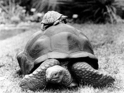 Tank the Giant Tortoise, London Zoo, 180 Kilos, 80 Years Old, on Top is Tiki a Small Tortoise