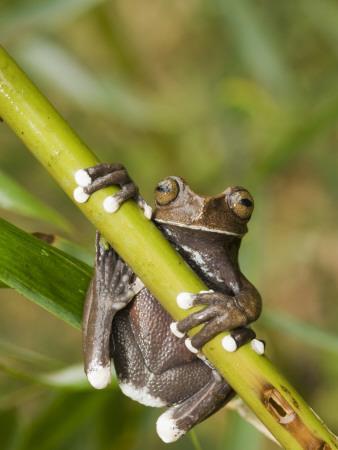 https://imgc.allpostersimages.com/img/posters/tapichalaca-tree-frog-tapichalaca-biological-reserve-zamora-chinchipe-ecuador_u-L-PDKVR30.jpg?p=0