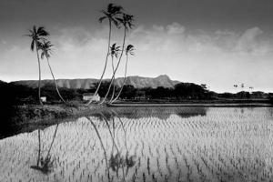 Taro Fields Near Waikiki and Diamond Head, Oahua, Hawaii Circa 1890
