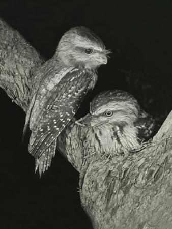 Tawny Frogmouths Pair at their Nest in a Jarrah