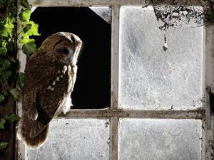 Tawny Owl in Barn Window