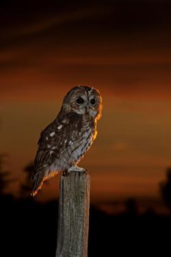 Tawny Owl on Post at Sunset