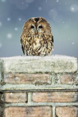 Tawny Owl Sitting on Snowy Chimney