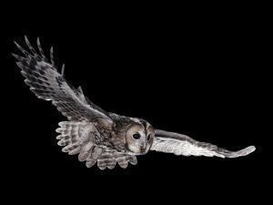 Tawny Owl (Strix Aluco) in Flight. Captive. UK