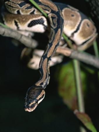 A Ball Python in a Tree by Taylor S. Kennedy