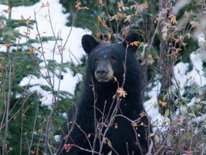 A Black Bear Looks Out of a Forest While Hunting for Food by Taylor S. Kennedy