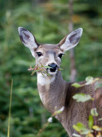 A Deer Eats a Mouthful of Leaves While Looking Curiously at You