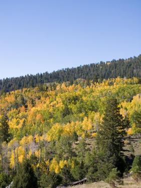 A Forest Changes Color in Autumn as the Aspen Trees Turn Golden by Taylor S. Kennedy