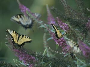 A Group of Yellow Swallowtail Butterflies on Flowers by Taylor S. Kennedy